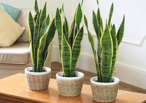 5 cây cảnh phong thủy nên có trong phòng khách, nội thất phòng khách, không gian xanh by Kiến trúc Doorway st, cây Lưỡi hổ